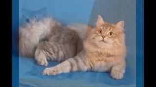 Хейленд  - страйт (Шотландская прамоухая длинношерстная кошка)