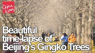 Beautiful time lapse of Beijing's Ginkgo trees | A China Icons Video