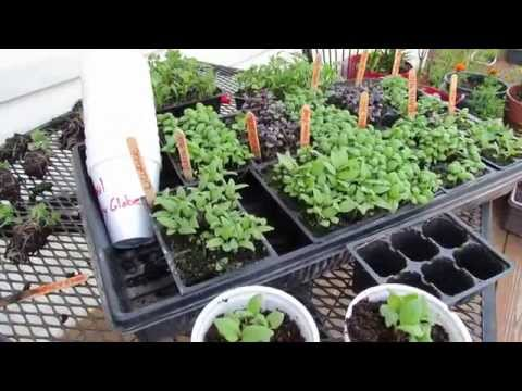 Growing 9 Varieties of Basil for Pennies a Plant: Over-Seeding Method! - MFG 2014