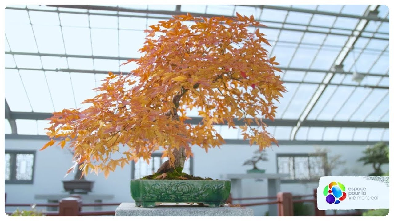What S The Longest Bonsai Trees Can Live Youtube