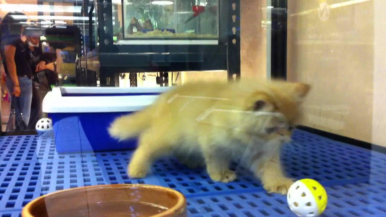 Pure Flat Face Persian Kitten Garfield