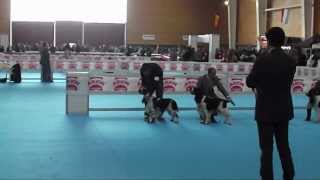 English Springer Spaniel Dog Show, Talavera 2012.