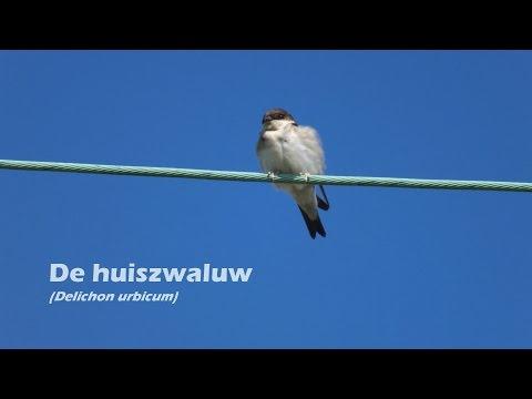 De huiszwaluw (Delichon urbicum)