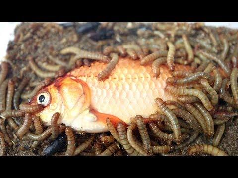 大量のミルワームの中に金魚を落とした結果…
