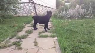 Кане корсо щенок