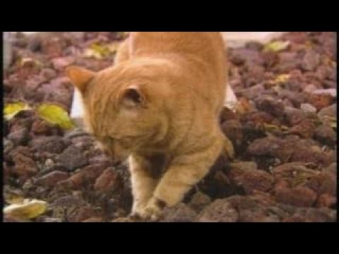 The Best Documentary Ever - The Persistance of Ringo Miracle Cats