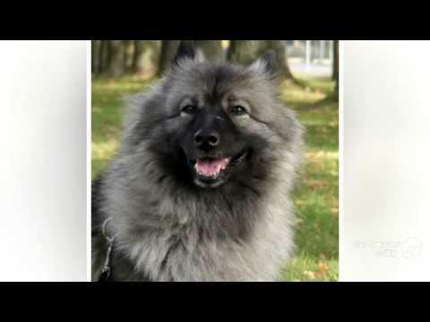 German Spitz Medium Dog breed
