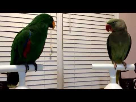 Alexandrine Ringneck Parrot Flirting with Eclectus Parrot — Both Are Males