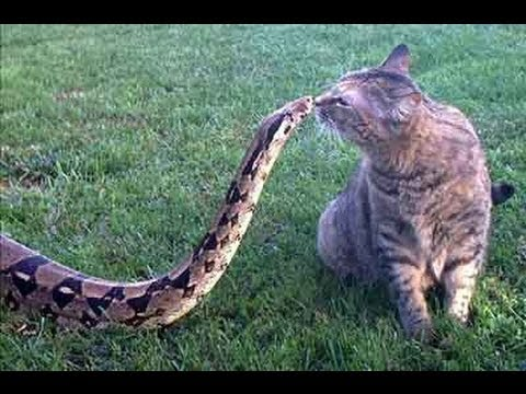 Cat Kills Big Snake