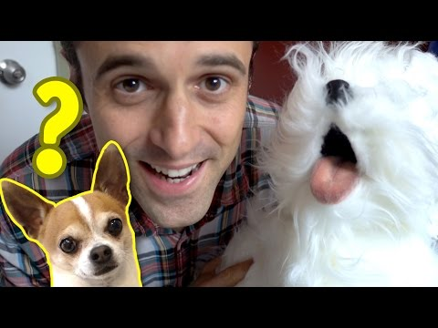 Fake dog prank to my chihuahua