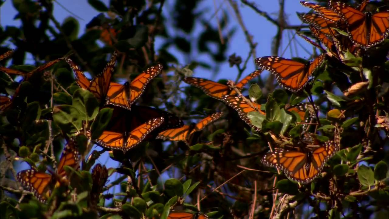 Bing Animated Wallpaper Monarch Butterflies Migration From Bluemarvel Com Youtube