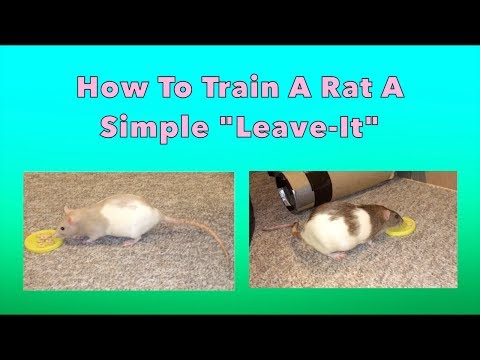 How To Train A Rat A Simple 'Leave-It'