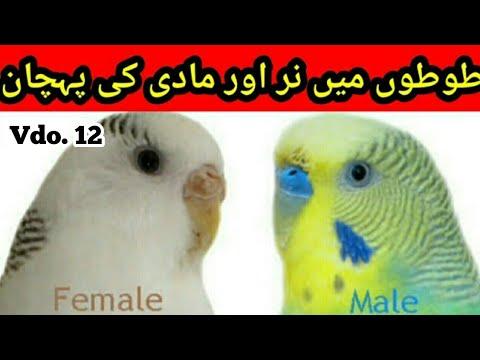 Identify Male and Female in Australian parrots in Urdu Hindi Nar   Madi   f19837b05c