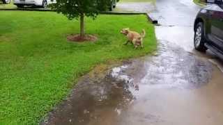 A Not So Climatic Golden Retriever Puppy Adventure