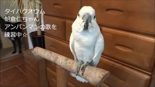 アンパンマンの歌を練習するお喋りオウム朝倉仁ちゃん