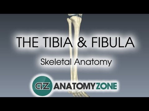 Tibia and Fibula: Skeletal Anatomy