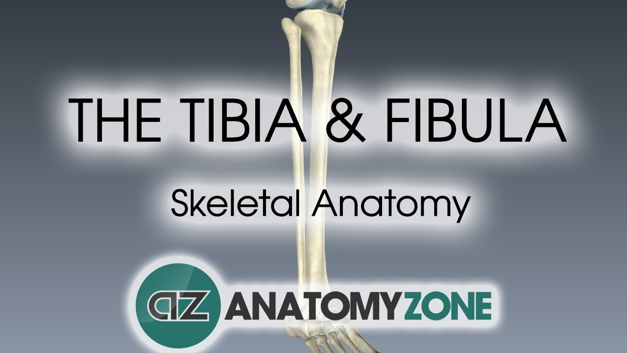 Tibia and Fibula: Skeletal Anatomy - YouTube