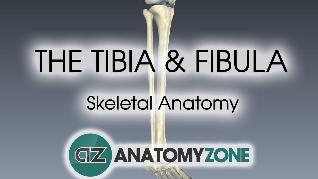 hight resolution of tibium fibula diagram inside