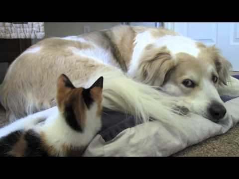 Video 40: Murkin the dog playing with cute adorable calico kitten