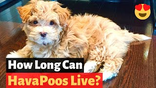 Havapoo: All the Important Facts and Details about the Havenese and Poodle mixbreed