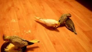 Попугаи нимфы - кореллы Кузя и Фиби (разведение) 18 Птенецы корелл. Breeding Corell.