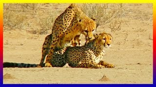Animal Documentary Cheetah Mating And Falling In Love