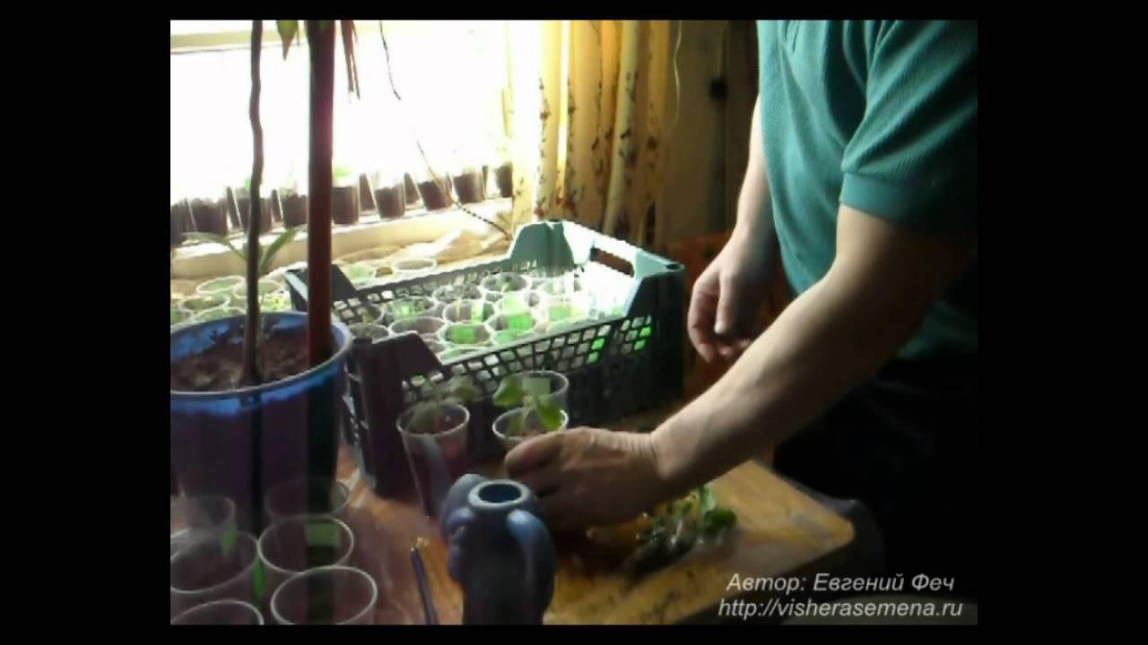 выращивание помидорной рассады от а до я