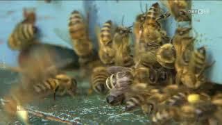 Anklage nach Bienensterben ORF Kärnten heute