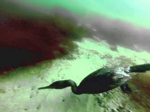 Cormorant dive 8 14