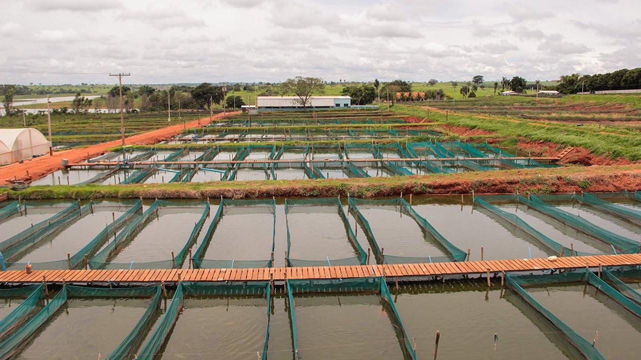 curso cria o de til pias em tanques rede tanques de