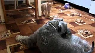 Miniature Schnauzer  & Cat
