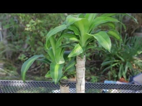 Indoor Corn Plant Care Instructions : Garden Space