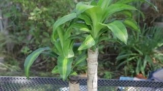 Indoor Corn Plant Care Instructions : Garden Space