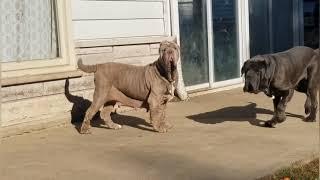 il Drago Neapolitan Mastiffs