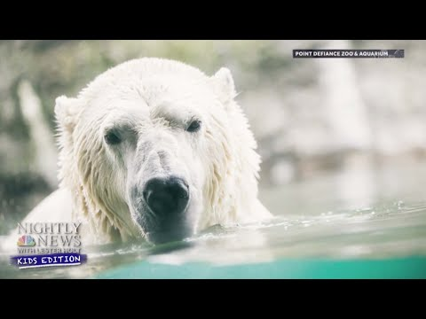 What Can We Do To Help Protect Polar Bears?   Nightly News: Kids Edition