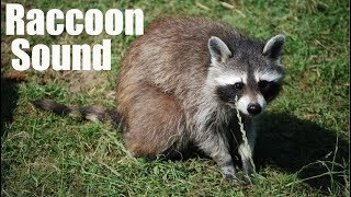 Video Raccoon Sound Effect (Best audio quality) download MP3, 3GP, MP4, WEBM, AVI, FLV Juni 2018