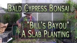 Bald Cypress Bonsai Forest - Slab Planti...