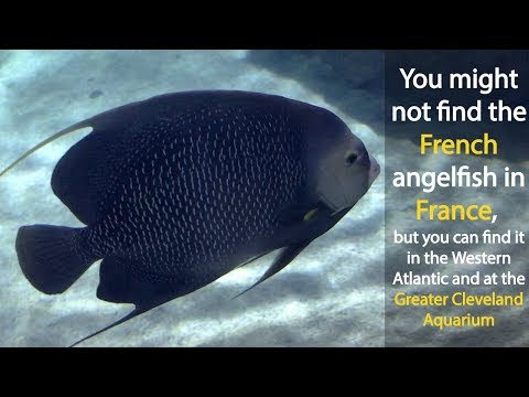 5 Things I Learned About French Angelfish