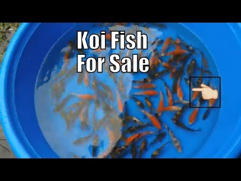 coy fish for sale in Philippines