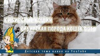 Сибирские кошки.Сибирская порода кошек фото