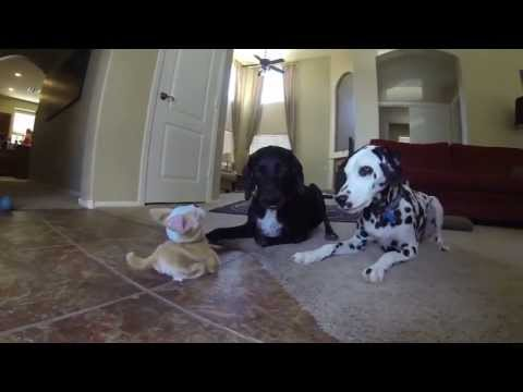 Flipping Toy Dog vs. Two Real Dogs