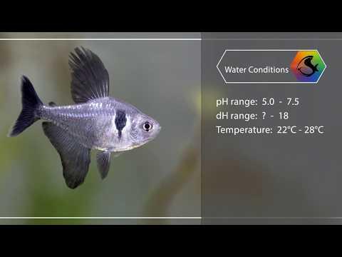 Mini Fish Profile -  Black Phantom