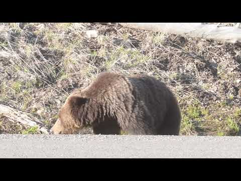 Grizzly bear eating along the road in Yellowstone