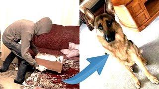 Когда грабители проникли в дом, пёс сделал всё чтобы спасти юного хозяина
