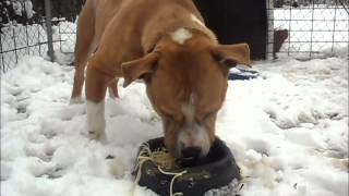 """American Staffordshire Terrier """"cleo"""" Eating Spaghetti"""
