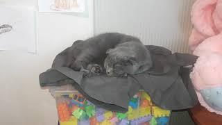 Шотландский кот 6 месяцев