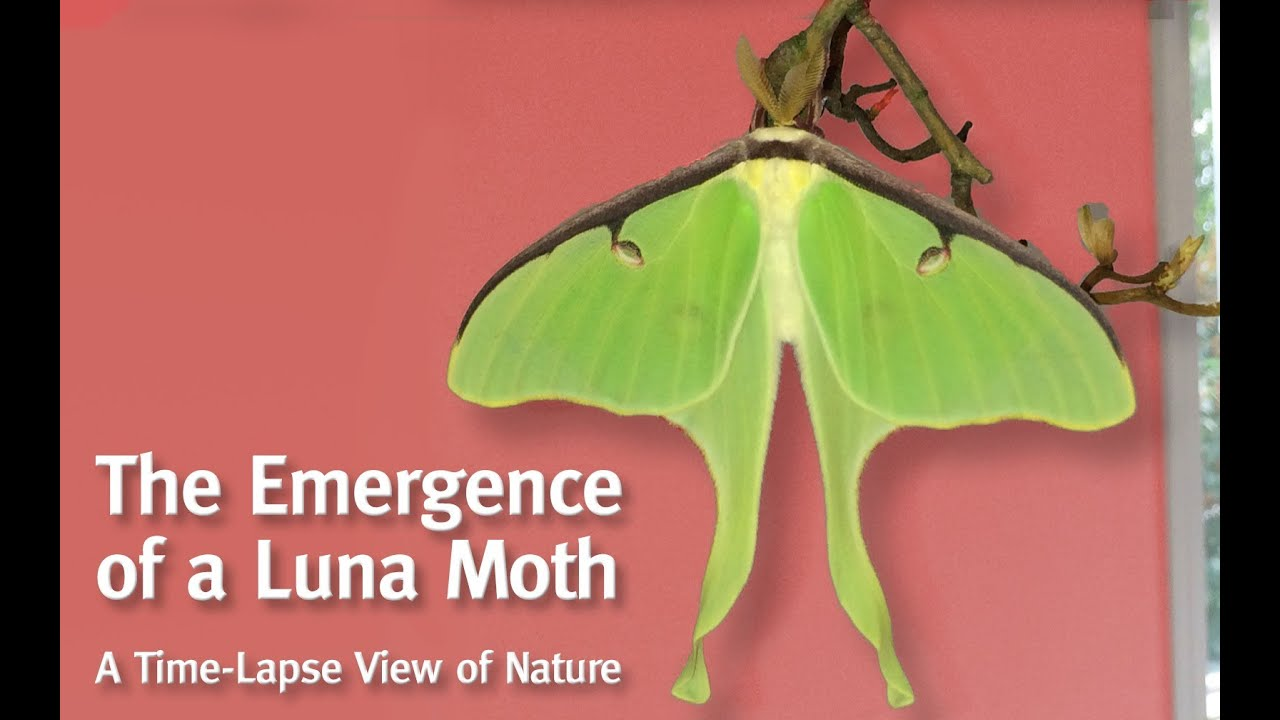 A Luna Moth Emerges From Her Cocoon Youtube