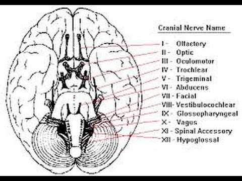 12 cranial nerves (song) - YouTube