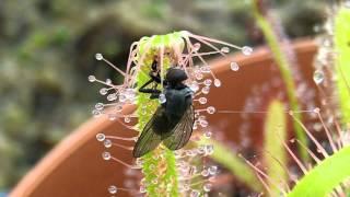 Sundew Carnivorous Plant Catches fly timelapse