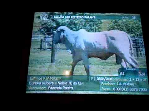 Brazilian televised cattle auction